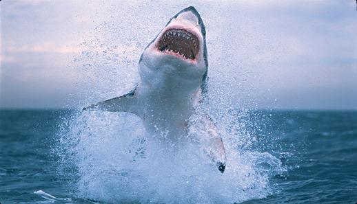 Shark-jumping-out-of-water-shark-jumping.jpg